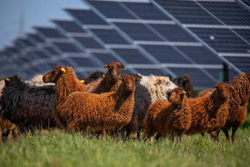 saulės grąža avys saulės elektrinės